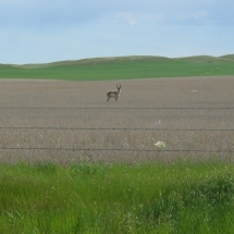 4F_antelope