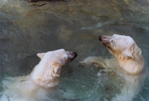 Polar Bears at the Toronto Zoo